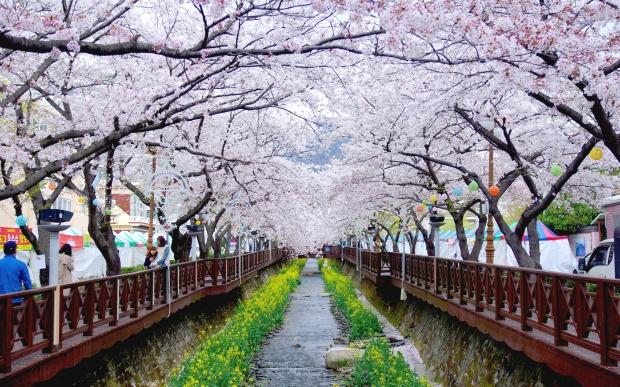 Jinhae Cherry Blossom Festival (2)