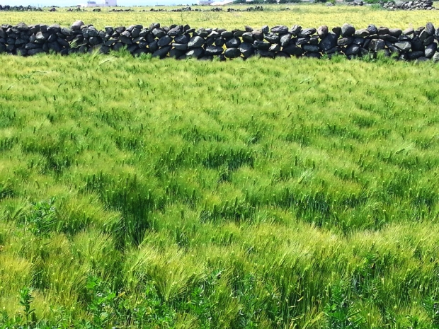 Photo courtesy of Young Yun Heo, 'Green Barley Field of Gapado Island'