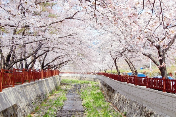Photo courtesy of Sam Ng, 'Jinhae (鎮海) Cherry Blossom'