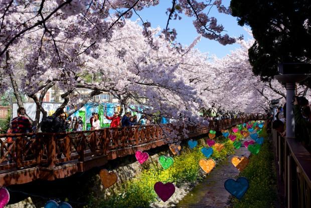 Photo courtesy of Gadjo Dilo, 'Jinhae Cherry Blossom Festival (2015)'